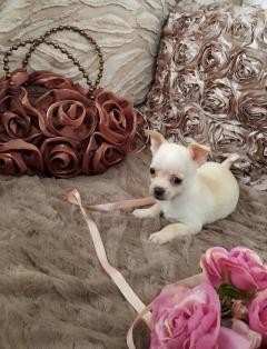 kdj Stunning Chihuahua Puppies available