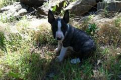 yrh Stunning Bull Terrier puppies available