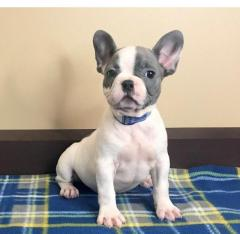 AKC Reg. Kid Raised French Bulldog Pups