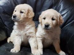 Friendly 12weeks old Golden retreiver pups short haired