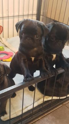 Gorgeous pug Puppy For Sale