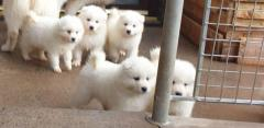 Snow white Samoyed Pups For Sale