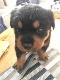 Gorgeous Rottweiler Puppy For Sale