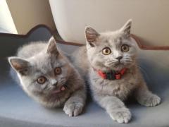 British Shorthair Kittens Ready Now