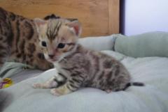 Beautiful Bengal Kittens Gccf Registered