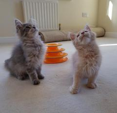 Male Maine Coon Kittens