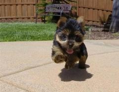 Yorkshire Terrier Puppies - Ready Now
