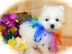 Pure, Small, White Pomeranian Puppies