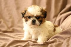 Precious Shih Tzu Puppies