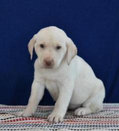 Fun-loving Labrador Retriever Puppies