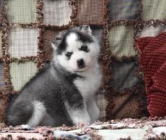 Loving Siberian Husky Puppies