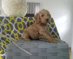 Charming Goldendoodle Puppies