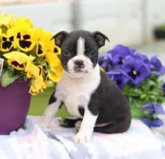 Dear Boston Terrier Puppies