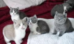 Excellent British Shorthair Kittens