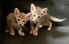 Two Amazing Savannah kittens