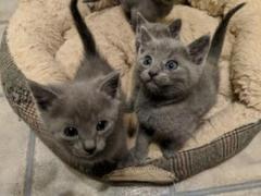 Certified Russian Blue Kittens