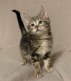 Pedigree Maine Coon Kittens