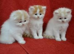 Show Scottish Fold Kittens