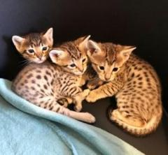 Brown Spoted Savannah Kittens