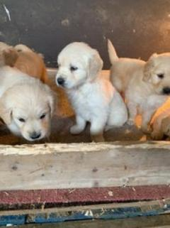 Purebred Gorgeous Golden Retriever Puppies
