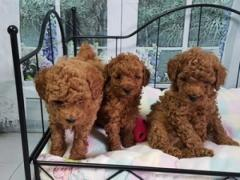 Toy Poodle Puppies 2 boys and 3 girls