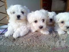 Quality Kc Registered Maltese Pups
