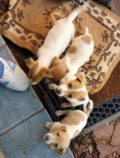 Jack Russells Puppies