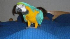 babies Blue and Gold Macaws for sale