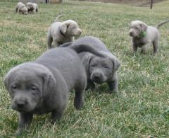 Pedigree Silver Labrador Retriever Puppies for sale