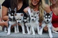 Pedigree Miniature Alaskan Klee Kai Puppies For