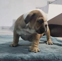 Lovely English bulldog puppies for Adoption