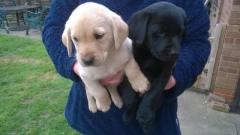 Cute Labrador Retriever Puppies For Sale GBP 390
