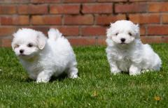 Tiny Maltese Puppies All Very Healthy  Puppies GBP 400