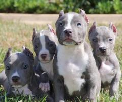 Stunning American Bully Pups