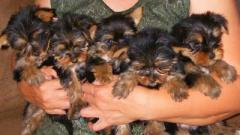 Sweet Teacup Yorkie puppies for sale