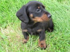 Pure Breed Dachshund Puppies