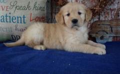 Full Bloodlines Golden Retriever Puppies