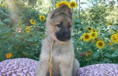 Big Bones German Shepherd Puppies