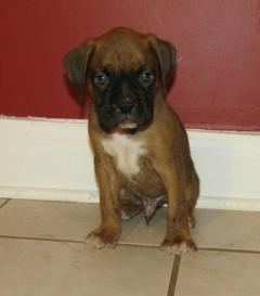 KC Registered Boys & Gurls Boxer Puppies
