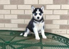 Blue Eyes Siberian Husky Puppies For Sale Now