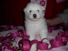 Snow White Samoyed Puppies For Sale