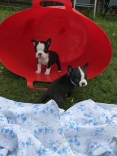 Black & White Boston Terrier Puppies