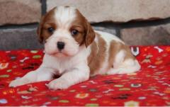 Cavalier King Charles Puppies For Sale Now