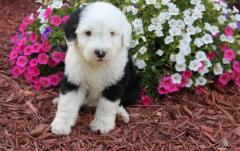 Very Good Looking Old English Sheepdog Puppies