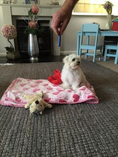 Purebred Maltese Puppies Boy and Girl