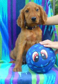 Male and Female Irish Setter Puppies