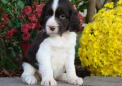 English Springer Puppies