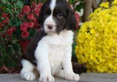 English Springer Puppies