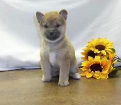 Playful Shiba Inu Puppies
