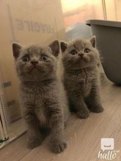 Gccf British Shorthair Kittens